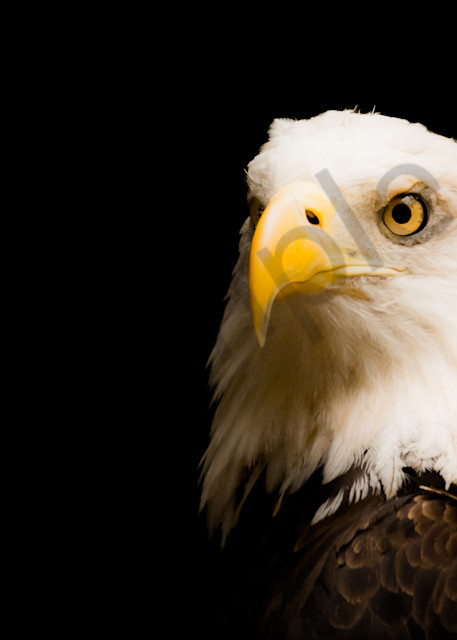 American Bald Eagle 2   Dsc4134 Art | No Blink Pictures, LLC