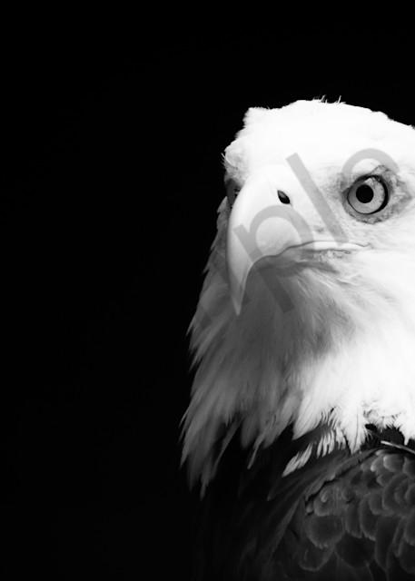 American Bald Eagle 3   Dsc4134 4 Art | No Blink Pictures, LLC