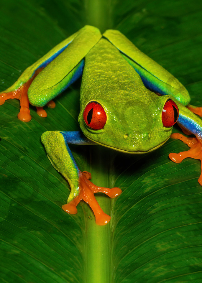 Red Eyed Tree Frog 2 Photography Art | John Martell Photography