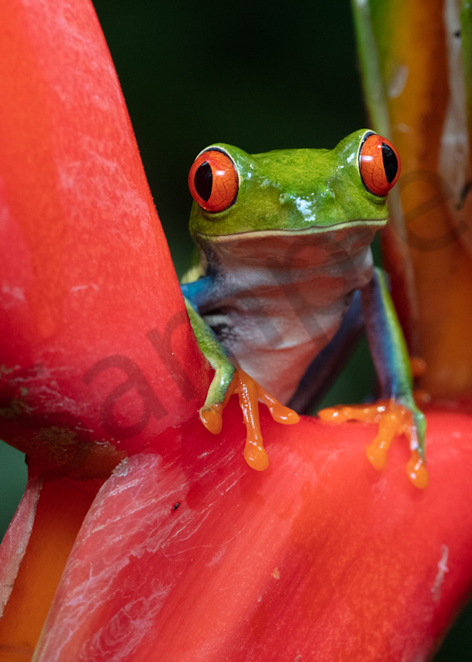 Red Eyed Tree Frog 8 Photography Art | John Martell Photography