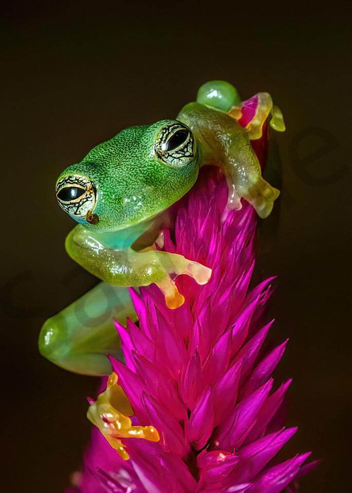 Spiny Glass Frog 1 Photography Art | John Martell Photography