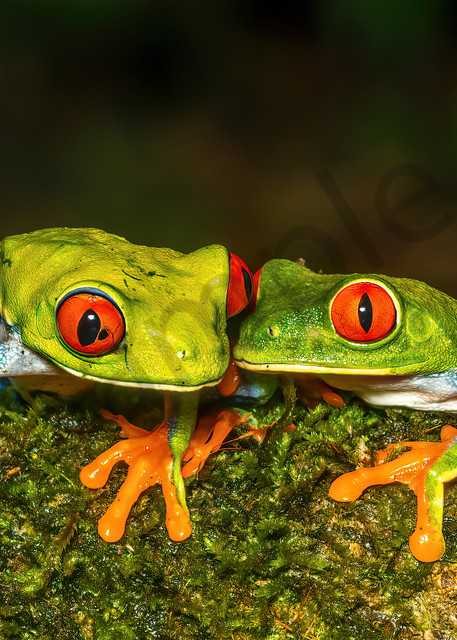 Red Eyed Tree Frog 16 Photography Art | John Martell Photography