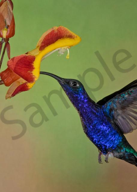Violet Saberwing 1 Photography Art | John Martell Photography