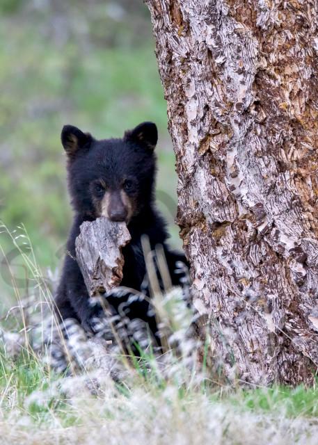 Bear Cub   Robbie George Photography