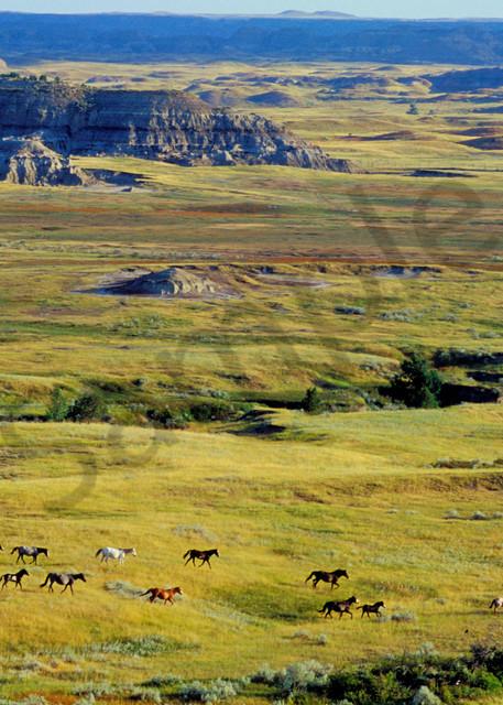 Wild Horses, Theodore Roosevelt Nat. Park, North Dakota. Summer.  (Equus caballus)
