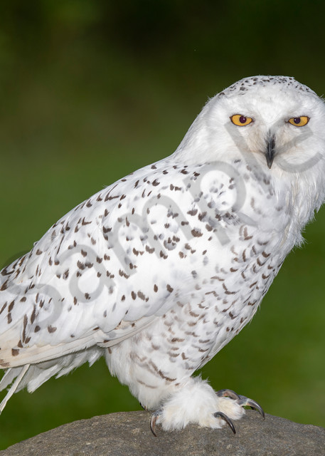 Another snow owl for your collection - fine art photography prints - owls