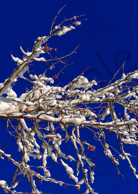 Alberta blue sky and snowcovered Aspen branches. Banff National Park|Canadian Rockies|Rocky Mountains|