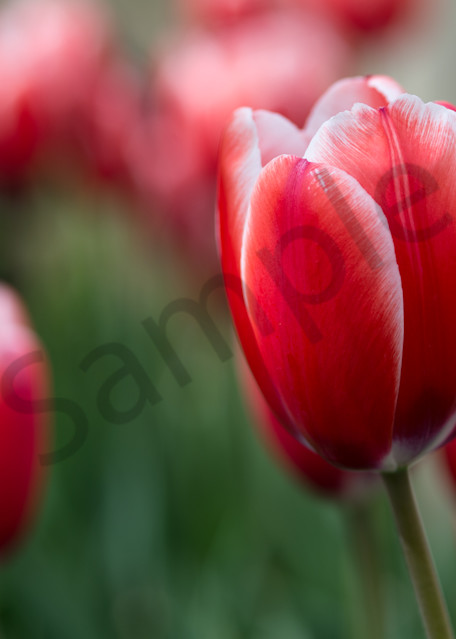 Red Beauty Photography Art | Kim Bova Photography