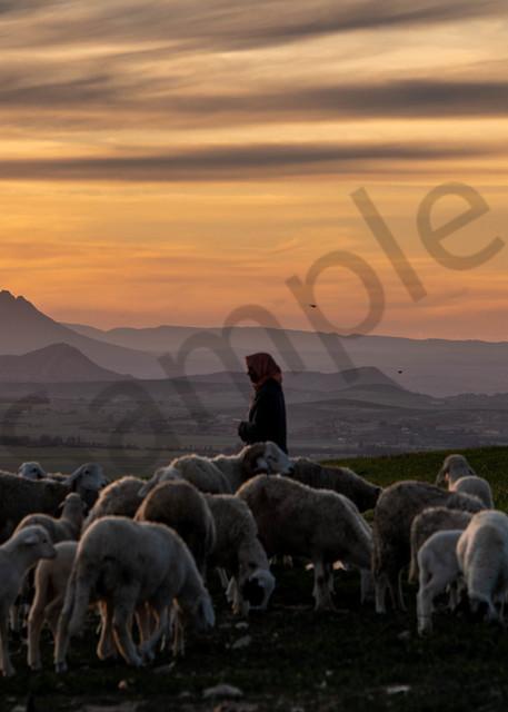 Herding sheep at sunset