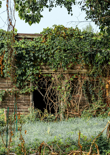 Peaceful vine covered shed, rustic barn