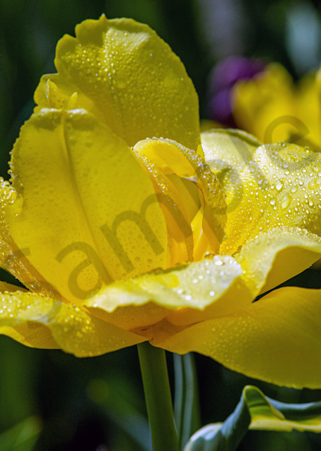 Beautiful full bloom yellow tulip Albany Tulip Festival