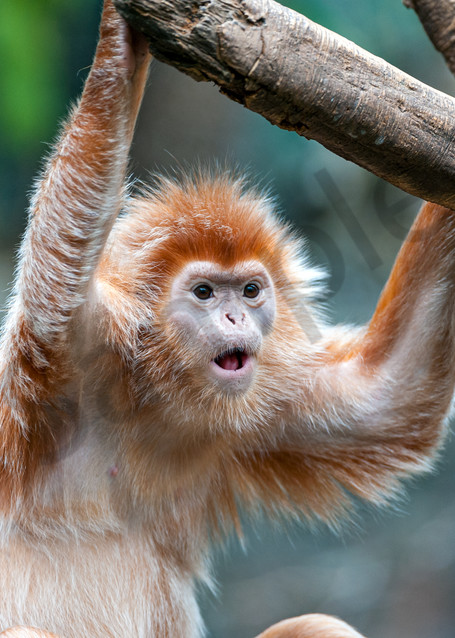 Photography By Festine Langur monkey surprised look