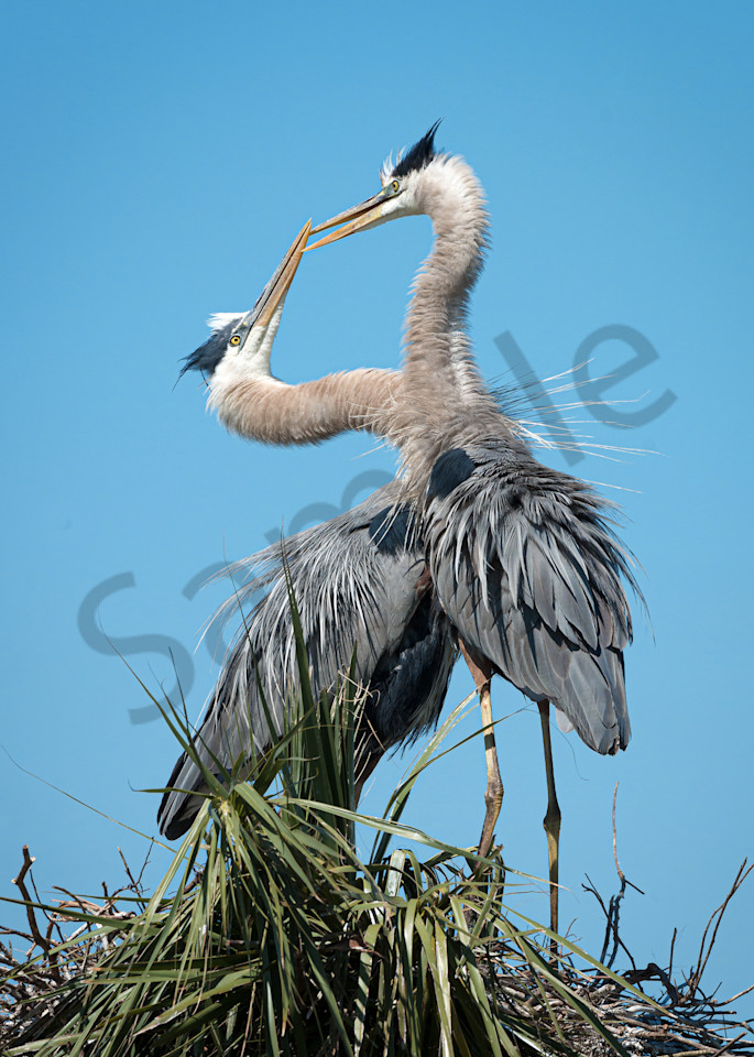 Photography By Festine Great Blue Herons not kissing