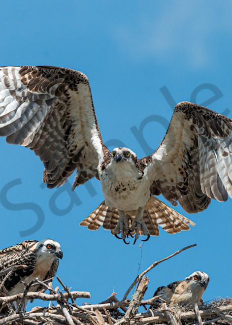 Photography By Festine Osprey landing in nest