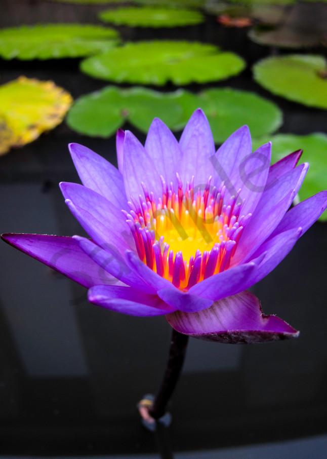 Glowing purple lily