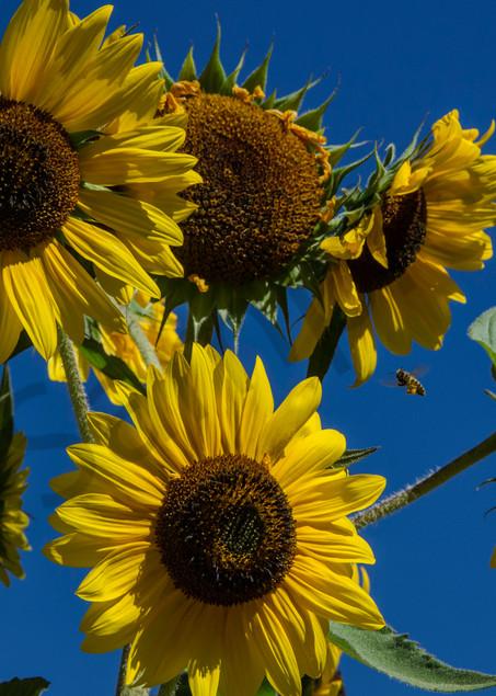 Sunflowers bee