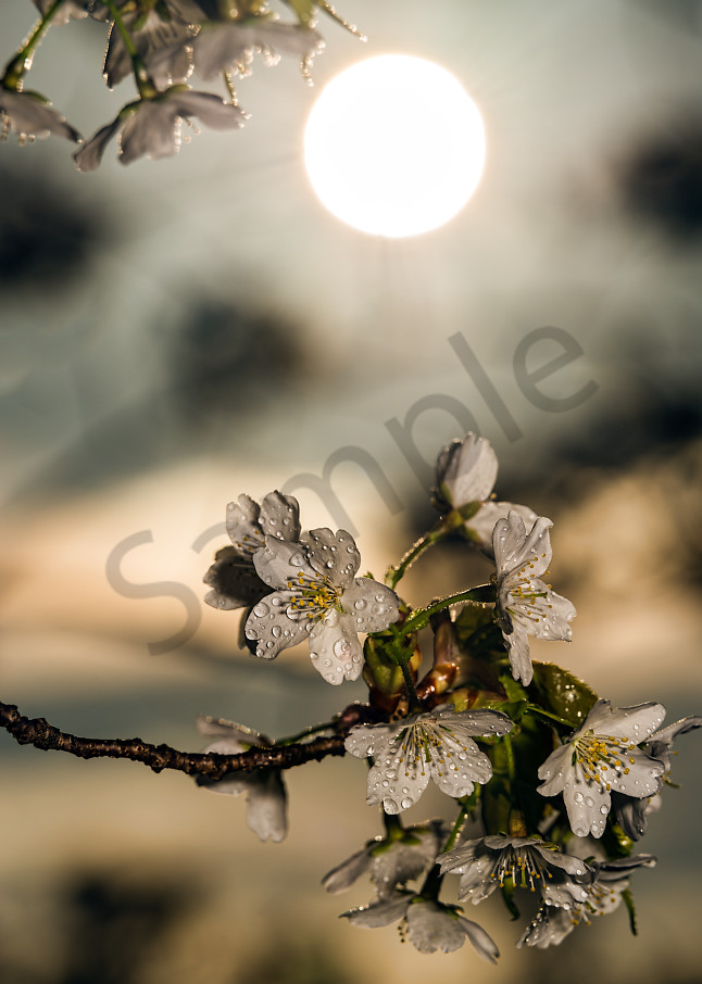 Sun rising above cherry blossoms