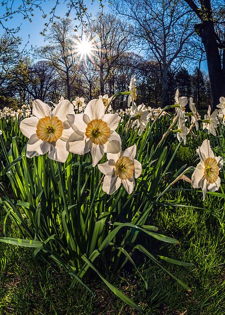 Sun rising behind daffodils