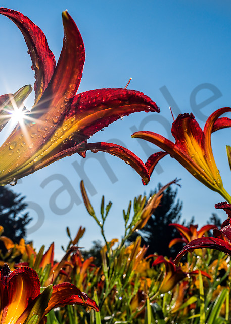 Sun rising behind red daylilies