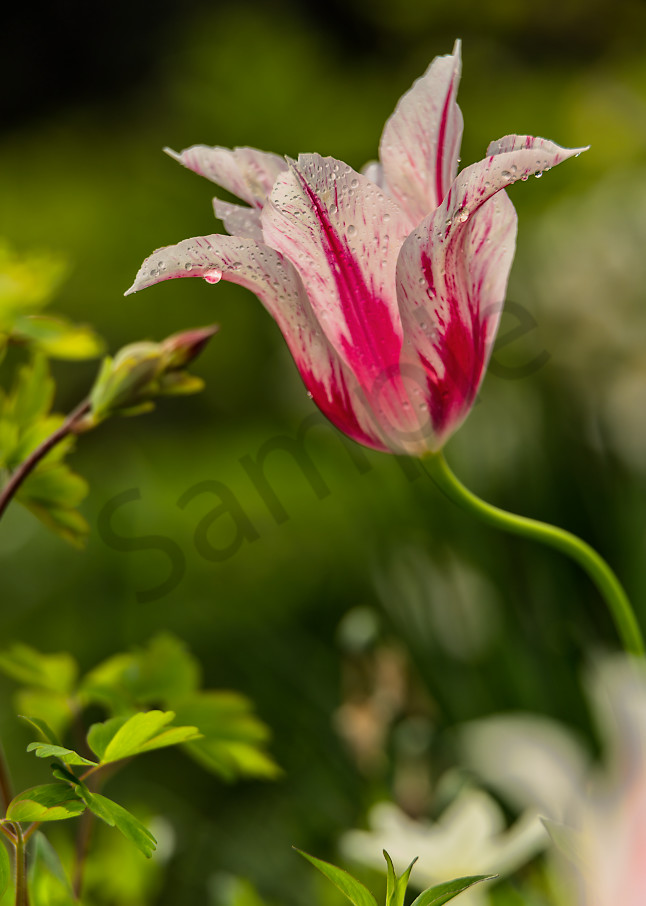 Red/white lily-flowered tulip