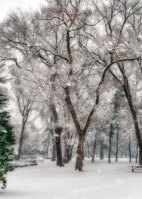 Snow-covered trees in Central Park