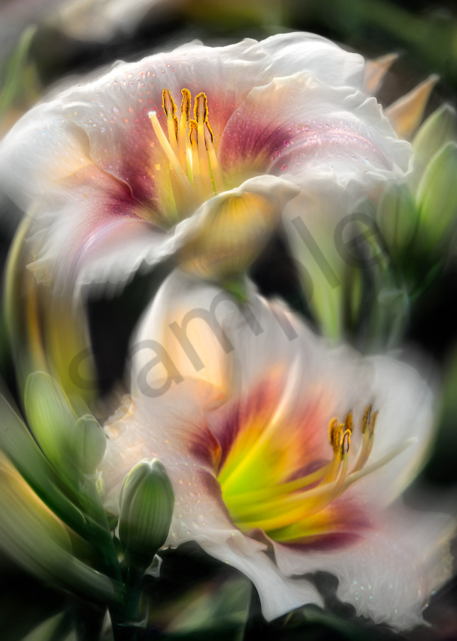 Soft-focused daylilies