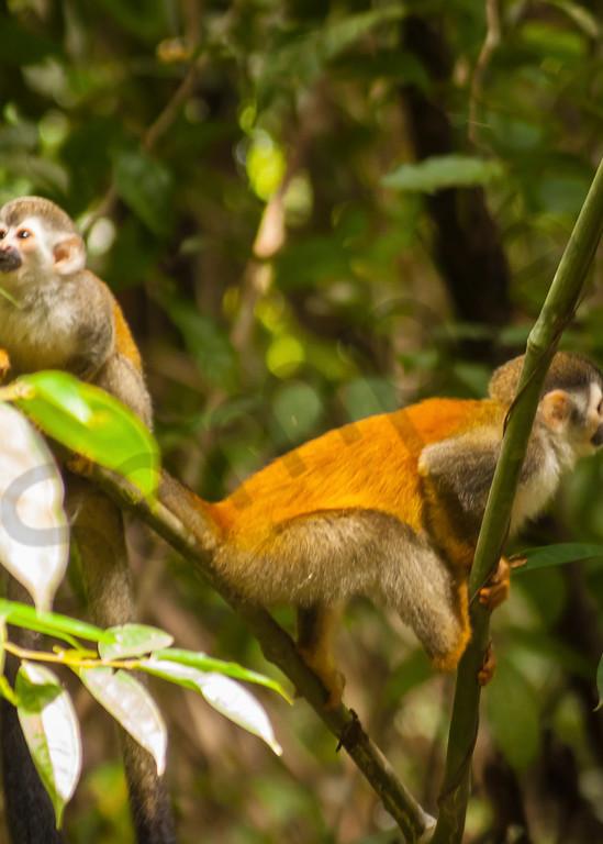 Squirrel Monkeys Photography Art | It's Your World - Enjoy!