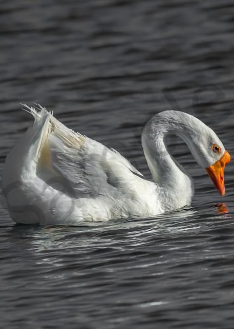 White Goose