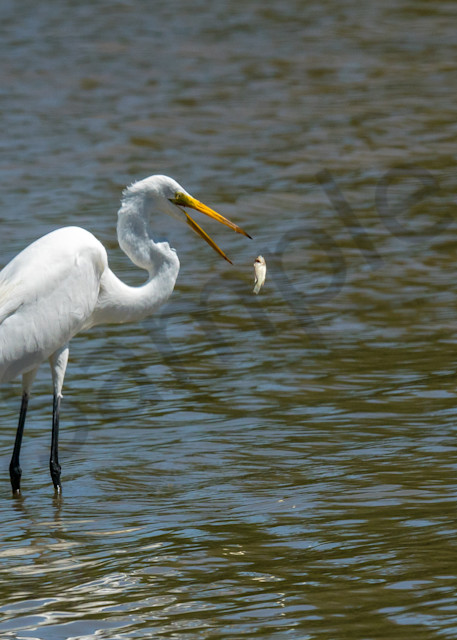 White Egret Flips Fish in the air