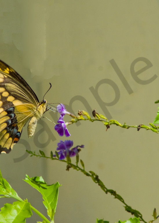 Yellow Swallowtail Butterfly Photography Art | It's Your World - Enjoy!