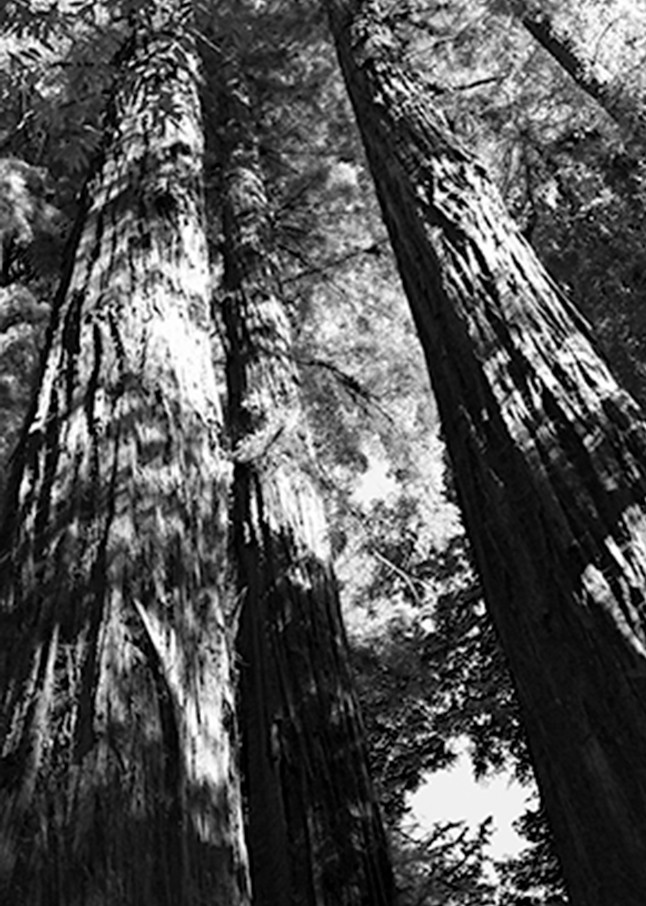 Redwood1 Photography Art | CLAUDIA LARRAIN