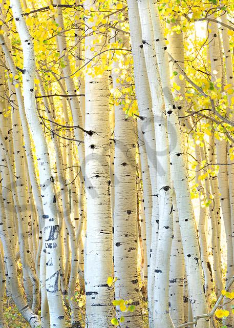 2860 Aspen Closeup Art | Cunningham Gallery