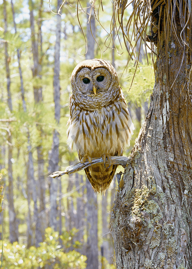 Barred Owl Art | Cunningham Gallery