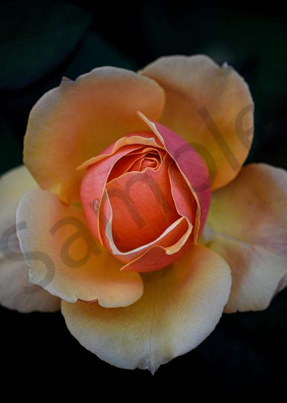 soft orange rose