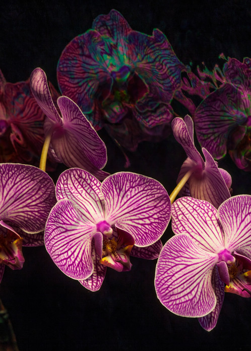 Orchid Dream Photograph