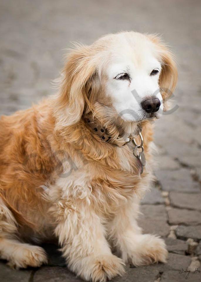 Golden Retriever Puppy Art   AngsanaSeeds Photography