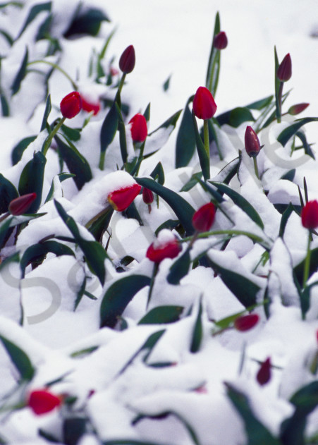 Tulips during a spring snow shower in Almaty, Kazakhstan.