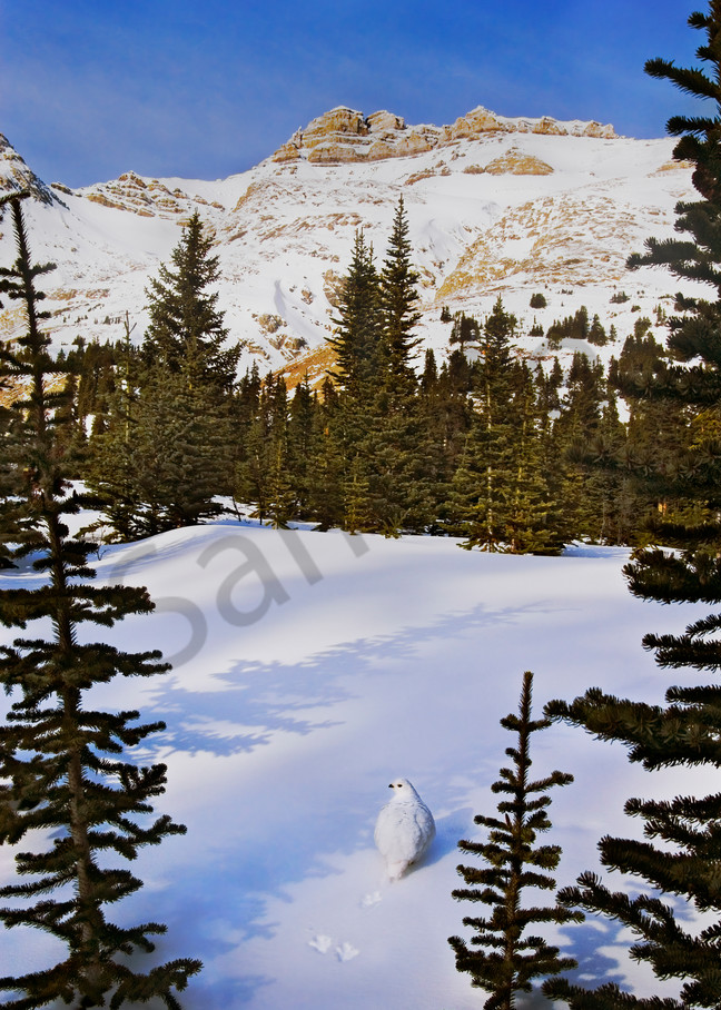 White-tailed Ptarmigan in high mountain winter setting