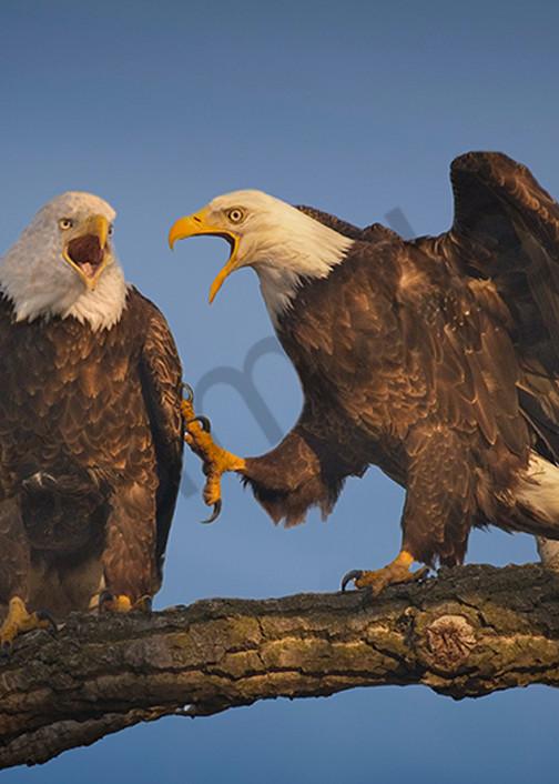 Bald Eagle Couple - Fine Art wildlife photography prints-