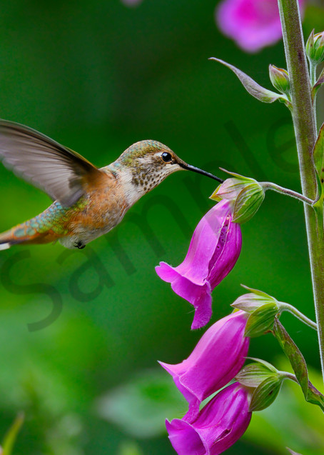 Rufous Hummingbird feeding on foxglove flowers.