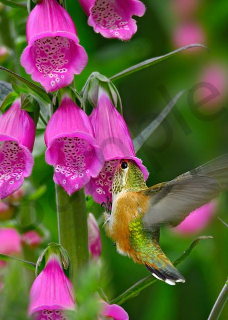 Rufous Hummingbird nectaring on foxglove flowers.