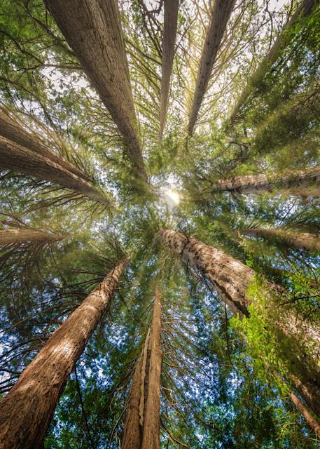 Print Art Roys Redwood Preserve California Redwood Circle