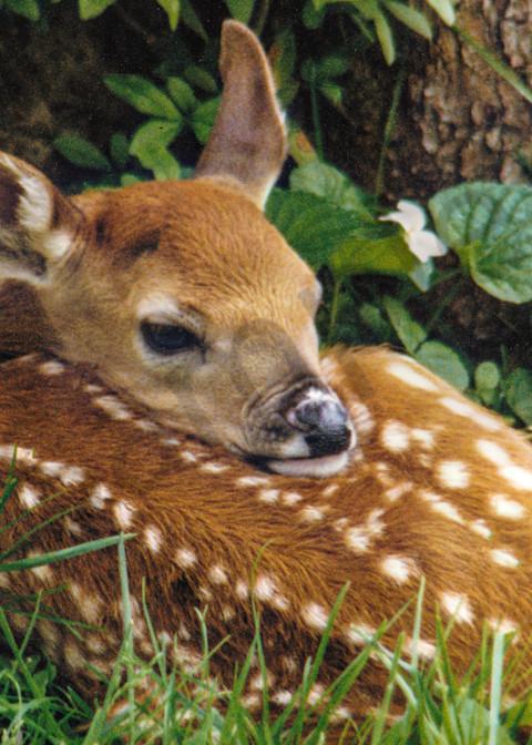 Newborn Fawn Photography Art   RAndrews Photos