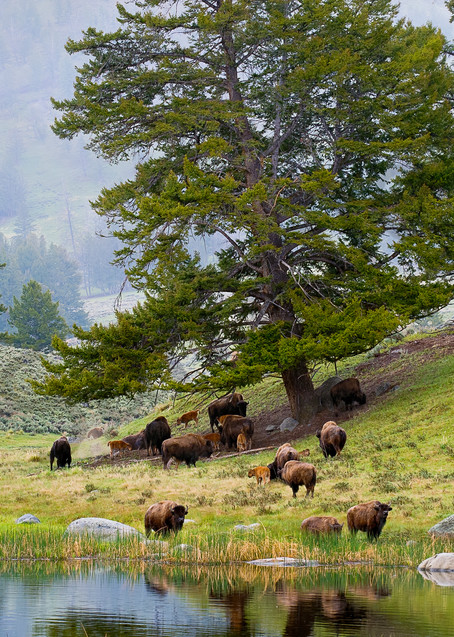 Bison herd feeding by the pond..
