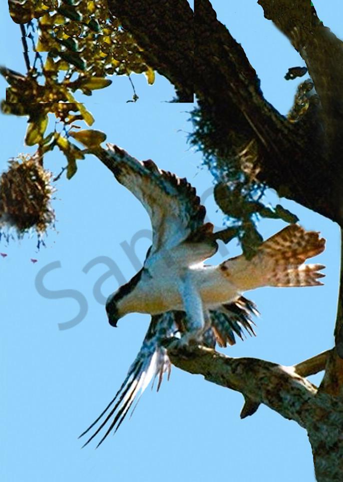 Osprey Photography Art | It's Your World - Enjoy!
