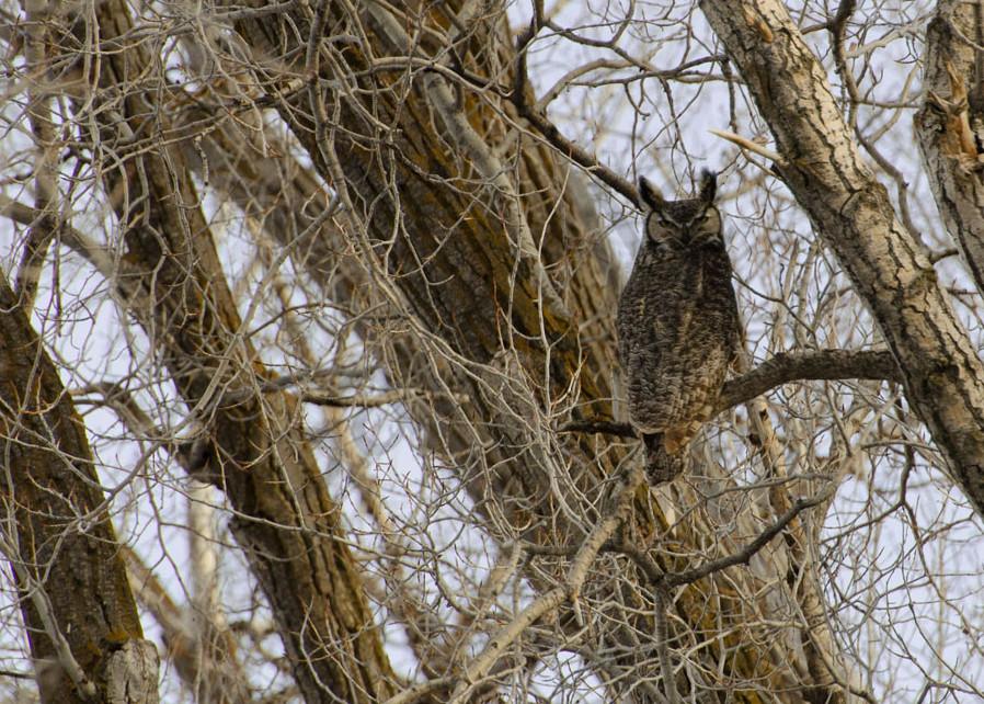 Great Horn Owl Male4972 Ftw  Z4hfbg.Jpg Photography Art | Swan Valley Photo