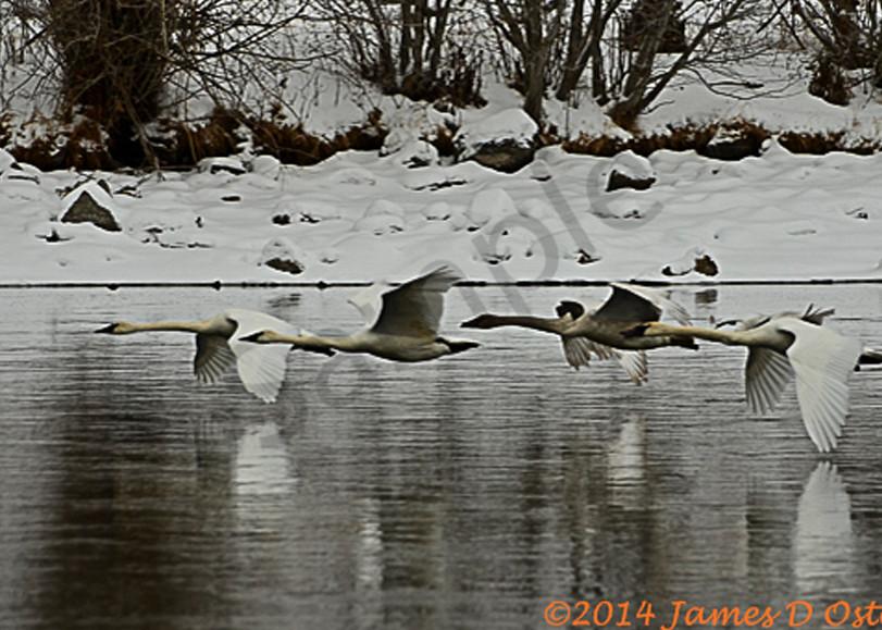Trumpter Swans 3820 2 Ujate6.Jpg Photography Art | Swan Valley Photo