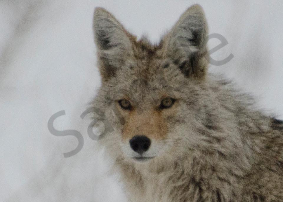 Coyote Gtnp.Jpg Photography Art | Swan Valley Photo