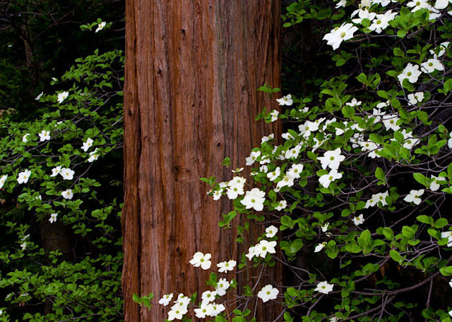 Dogwood And Cedar Art | Scott Cordner Photography