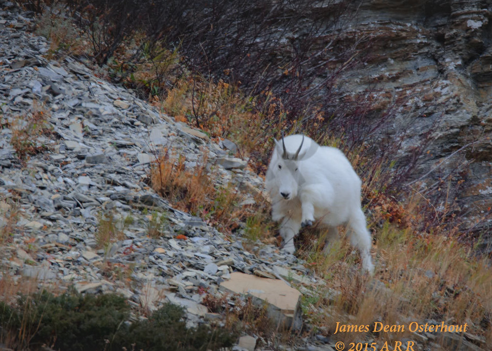 Glacier Goat Photography Art | Swan Valley Photo